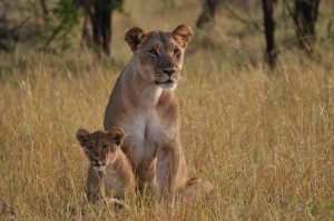 lionness and cub 2016 Africa photography tour Tanzania