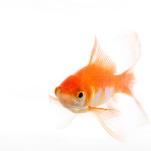 Pet gold fish swimming; isolated on white