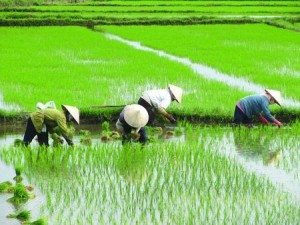 Vietnam - rice fuelds