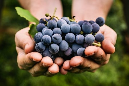47308369 - grapes harvest. farmers hands with freshly harvested black grapes.