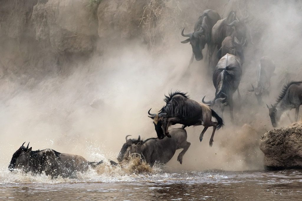 Tanzania Wildebeest crossing river