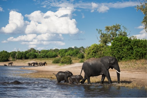 elephants swimming and playing in the water along the Chobe River during our boat safari