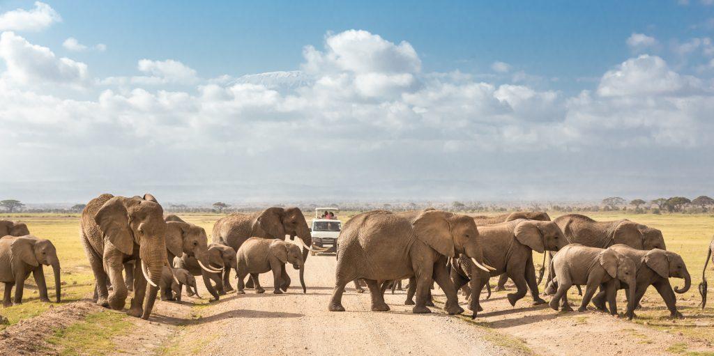 Elephants in Amboseli National Reserve in Kajiado County, Kenya
