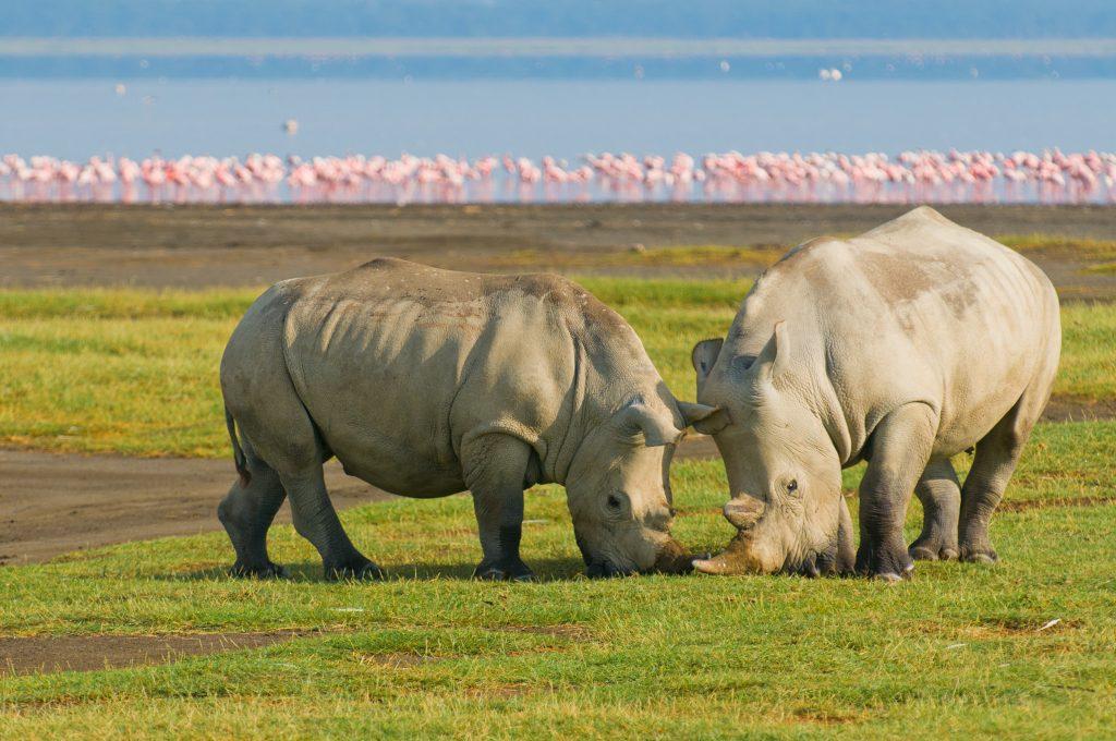 Rhinos and pink Flamingos in Lake Nakuru National Park