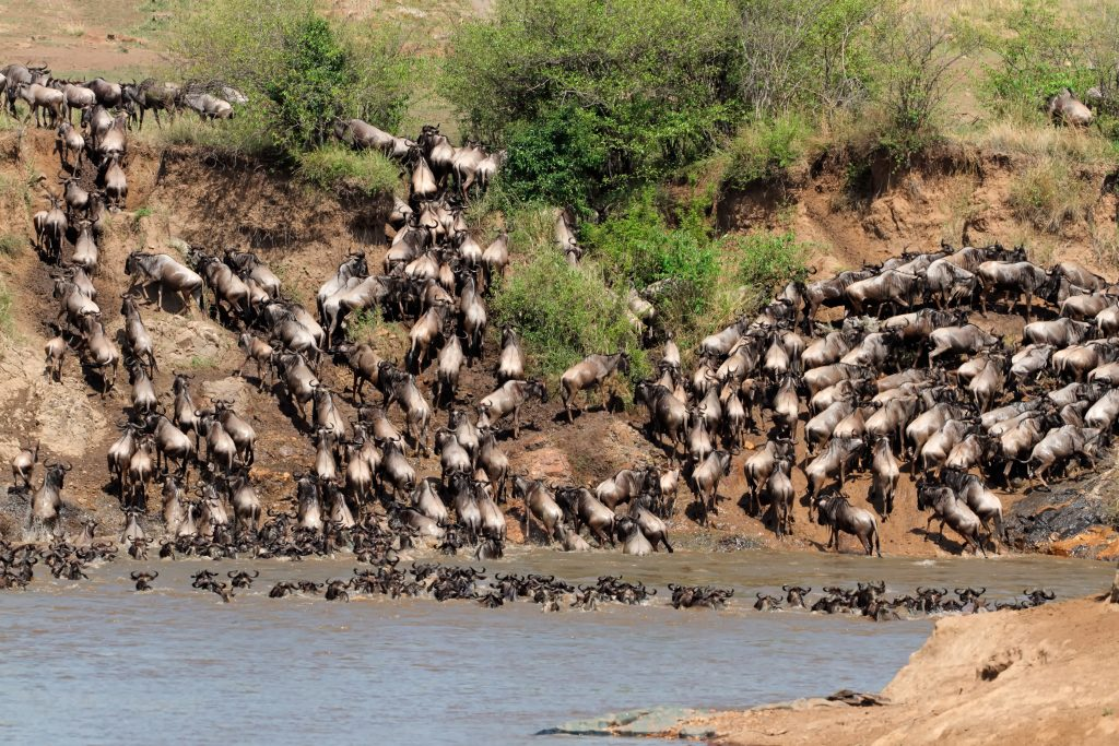Wildebeest in Maasai Mara National Reserve in Kenya