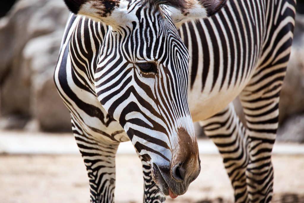 Take pictures of grey zebras in Laikipia Plateau in Kenya